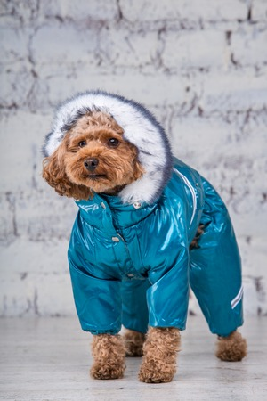Winter Poodle Care Tips