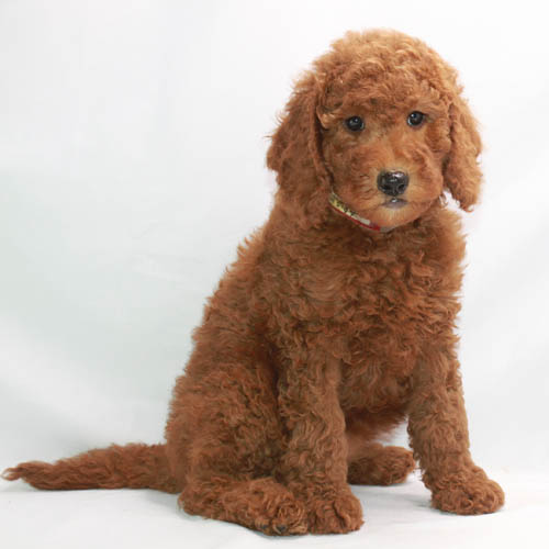 Red Poodle Puppies Moyen Poodles At Scarlet S Fancy Poodles