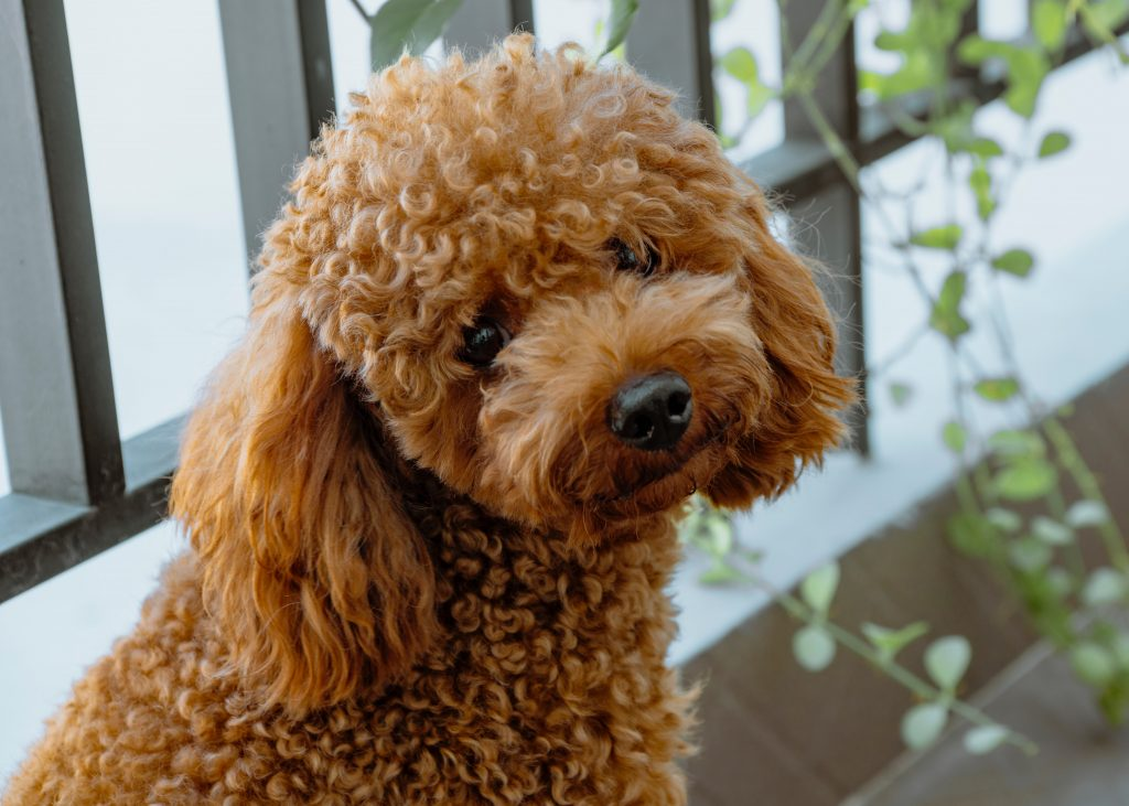 Red Toy Poodle Puppies for Sale