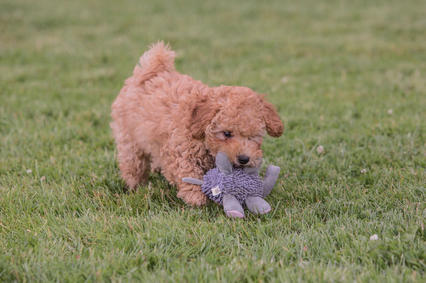 Red poodle puppiers