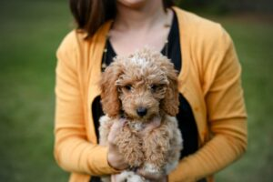 Tan Poodle Puppy